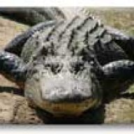 gator37